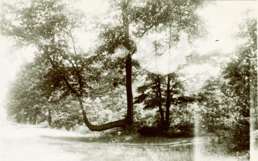 oldbenttree
